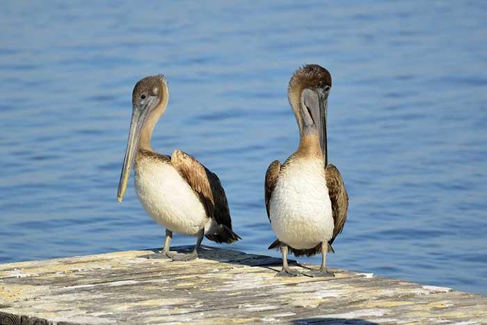 fauna en la bahía de chahué huatulco