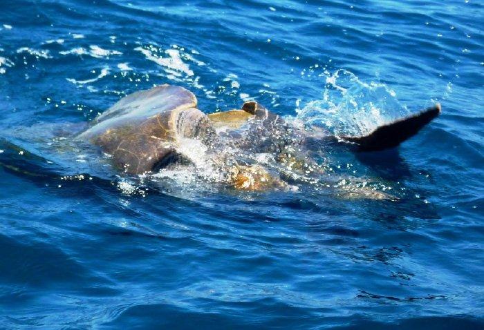 tortugas en playa cacaluta